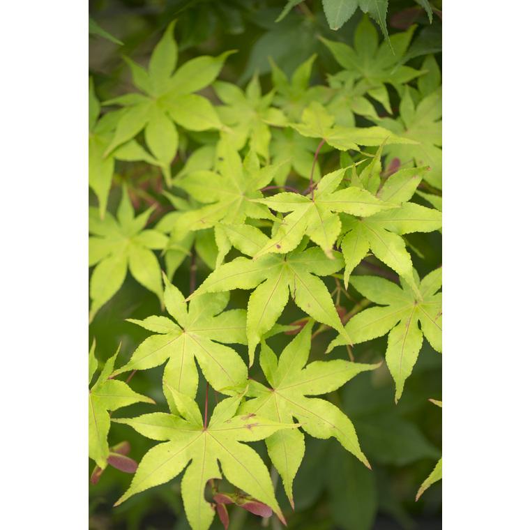 Acer Palmatum Ozakazukio vert pot de 50L 309050