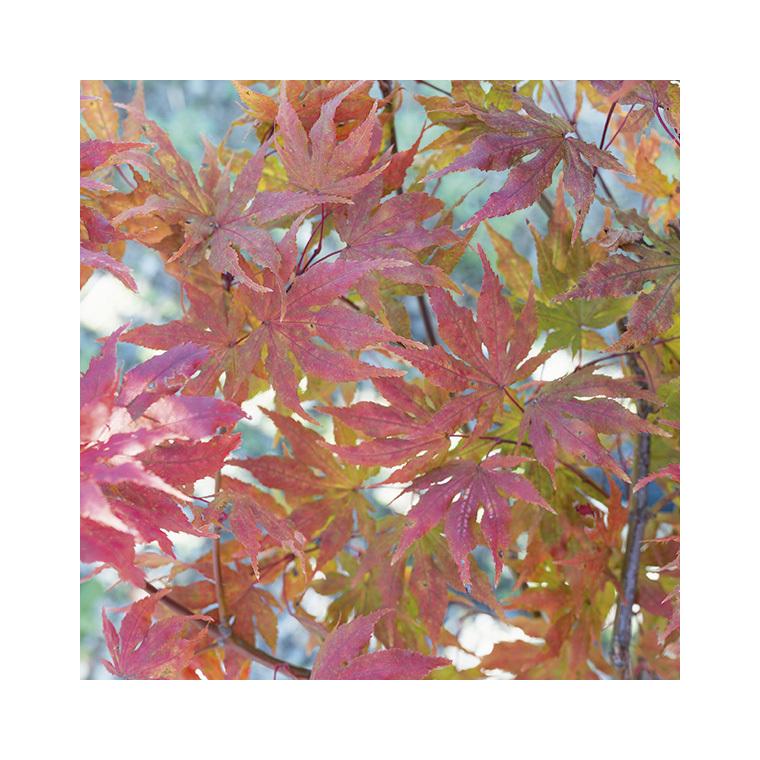 Acer Palmatum Reticulatum red vert pot de 50L 309057