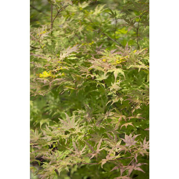 Acer Palmatum Reticulatum red vert pot de 80L 309058