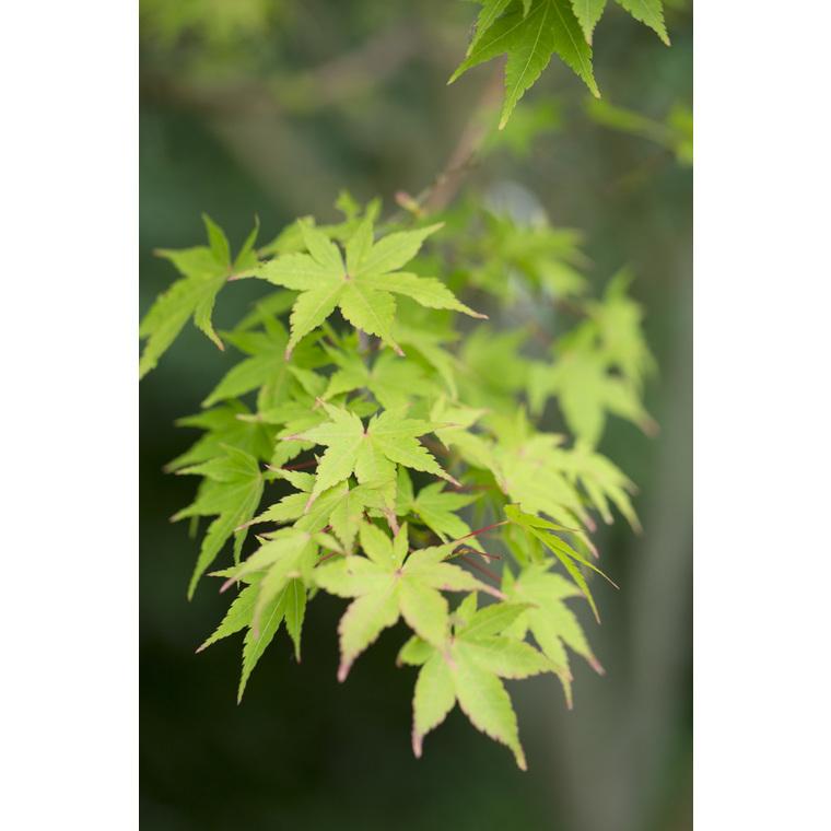 Acer Palmatum Sango kaku vert pot de 110L 309065