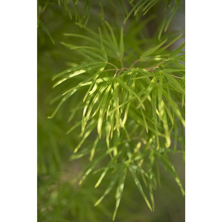 Erable du Japon (ACER PALMATUM SCOLOPENDRIFOLIUM ) Le pot de 30 litres 309069