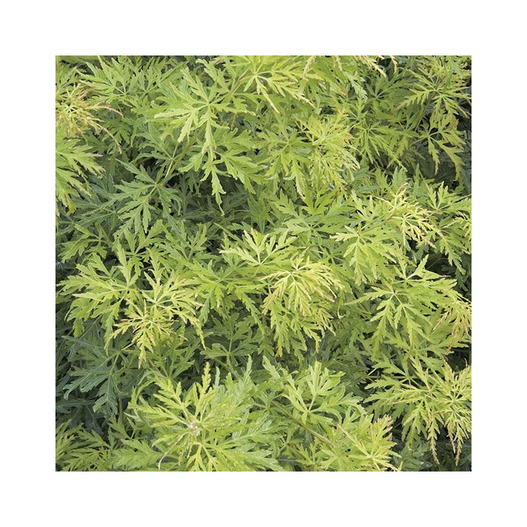 Acer Palmatum Seiryu vert pot de 50L 309074