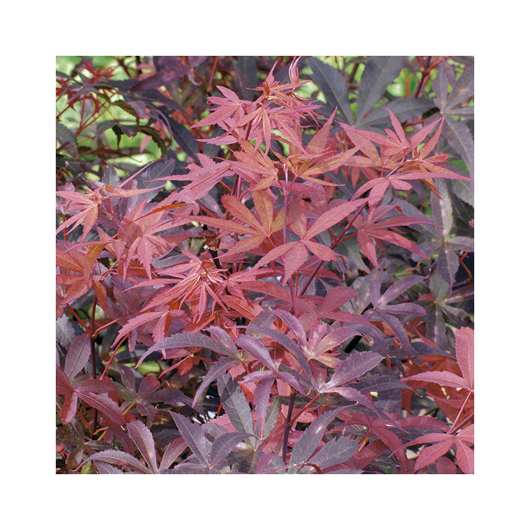 Erable Du Japon Acer Palmatum Skeeters Broom Le Pot De 15 Litres