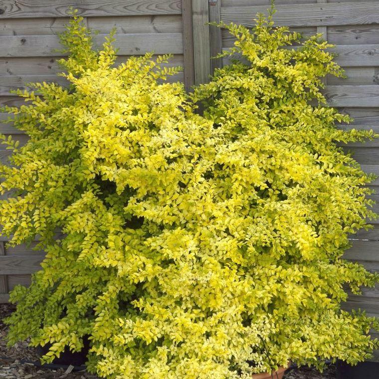 Ligustrum Ovalifolium Lemon & Lime jaune en pot de 2 L 309731