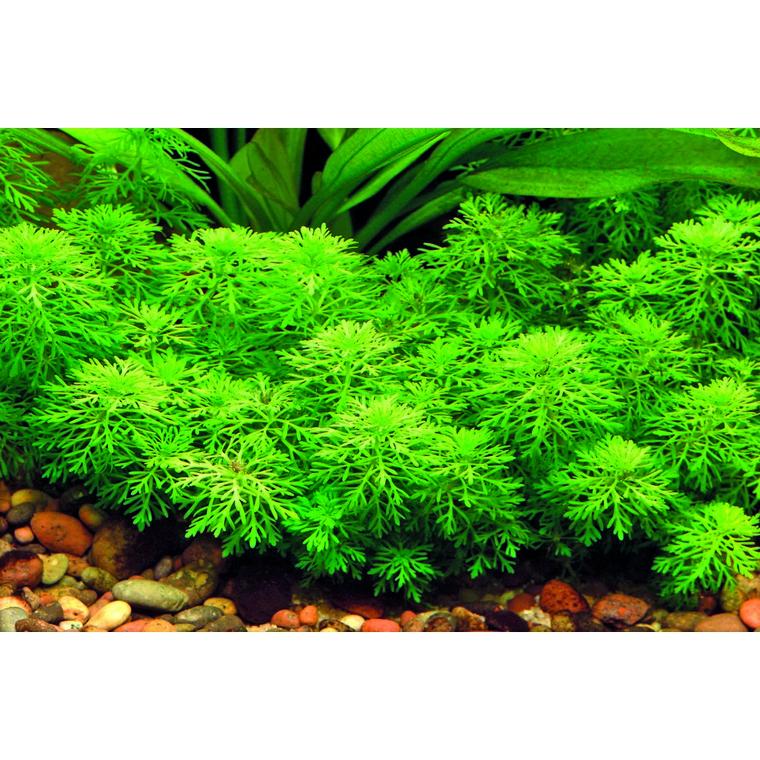 Plante aquatique (LIMNOPHILA SESSIFLORA) 310064