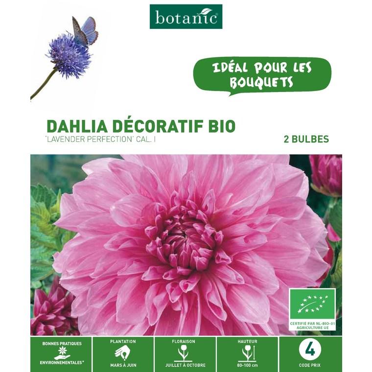 2 bulbes de Dahlia Décoratif Strawberry Ice BIO – Rose jaune 310186