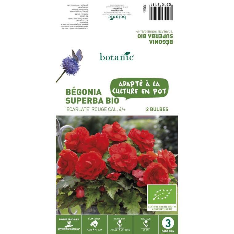 2 bulbes de Bégonia Superba Ecarlate BIO - Rouge 310211