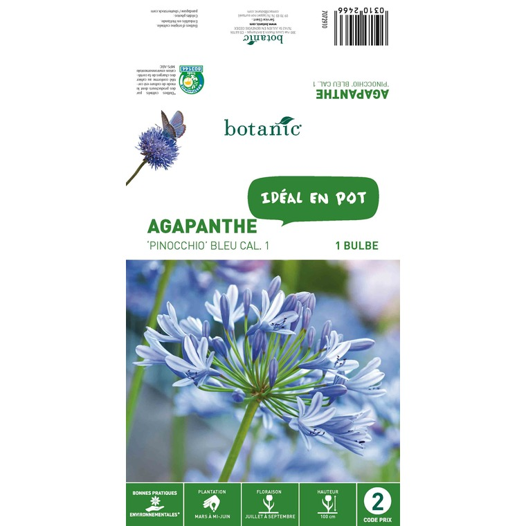 Agapanthe Pinocchio - Violet - 1 bulbe 310246
