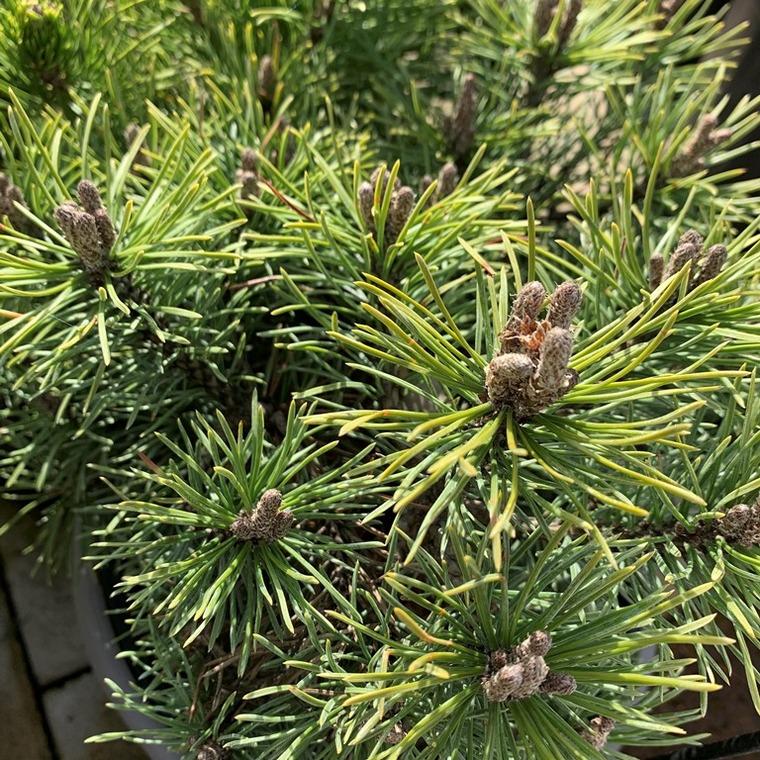 Pin (Pinus) Mugo Mops. Le pot de 6 litres 31032