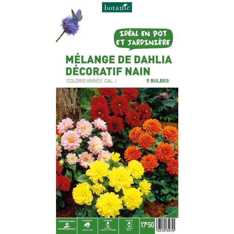 Dahlia Décoratif Nain en mélange - Variés - 5 bulbes 310347