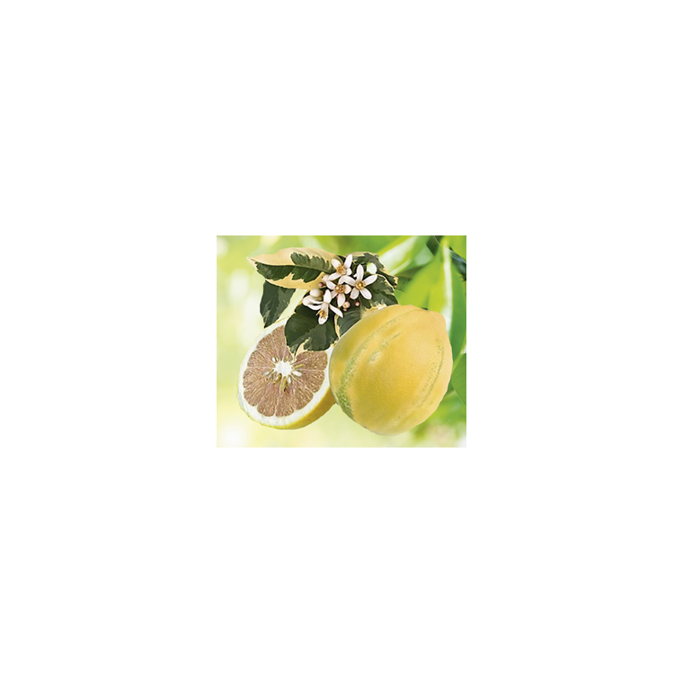 Citronnier 4 Saisons Albo Panaché en pot de 3 L Bio 310399