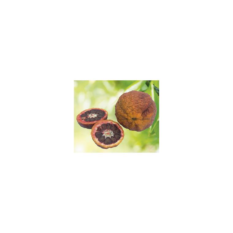 Clémentier Sanguine en pot de 3 L Bio 310406