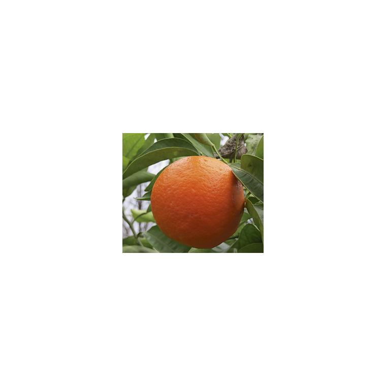 Tangelo Minneola en pot de 3 L Bio 310419