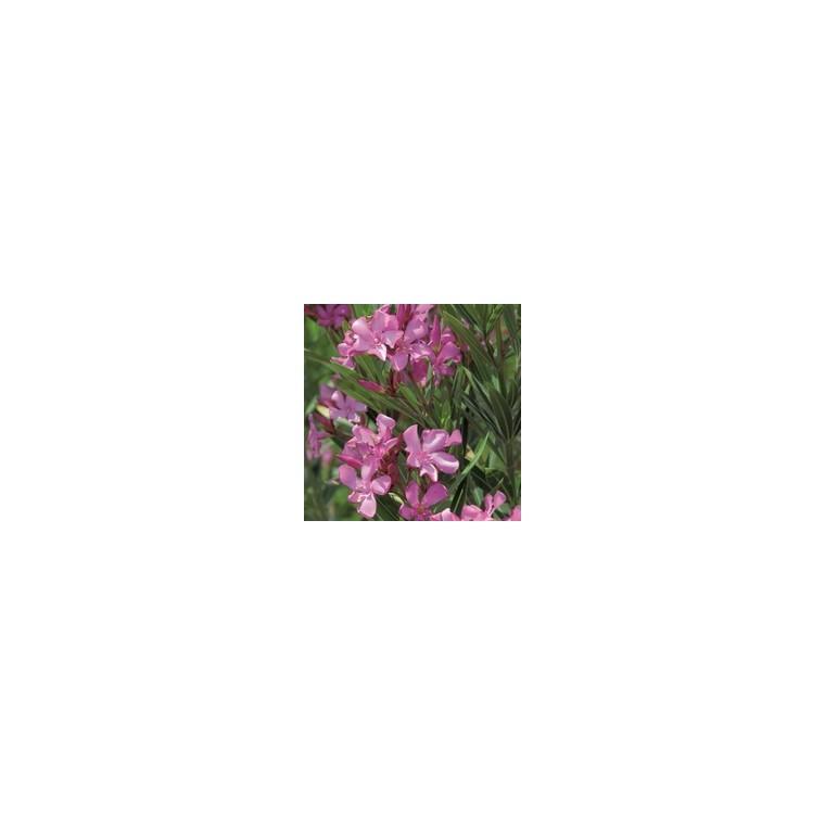 Laurier Rose - pot 7 L 310443