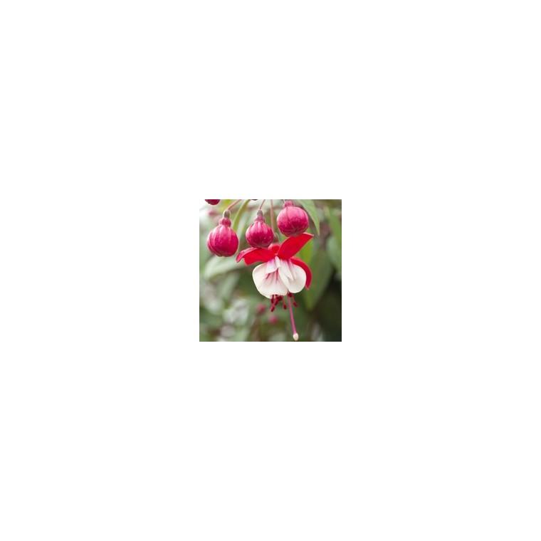 Fuchsia Pyramide. Le pot de 10 litres 114862