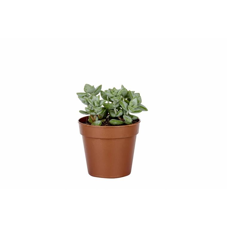 Plante grasse variée au choix sans cache-pot Ø 14cm  313653