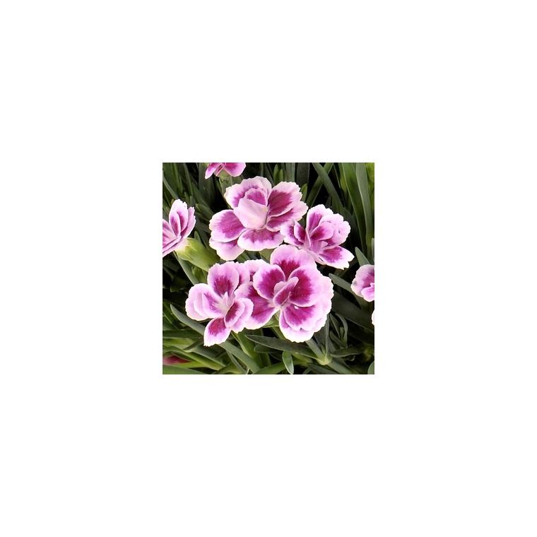 Oeillet Nain. La jardinière de 25 cm 313686