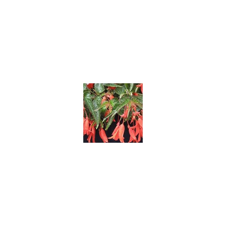 Bégonia pendula. La jardinière de 50 cm 430210