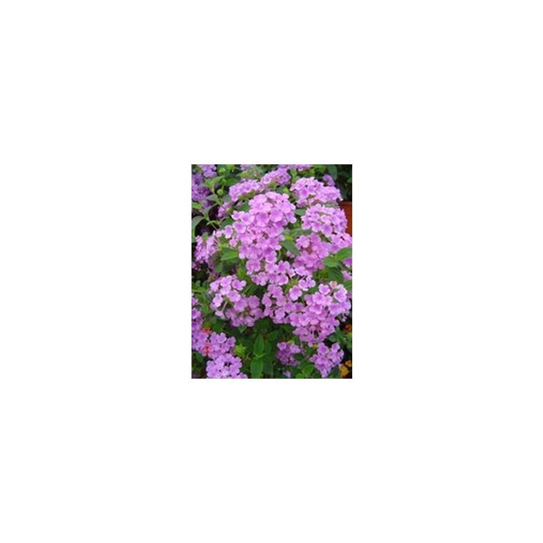 Lantana sellowiana tapissant. Le pot de 1 litre 316510