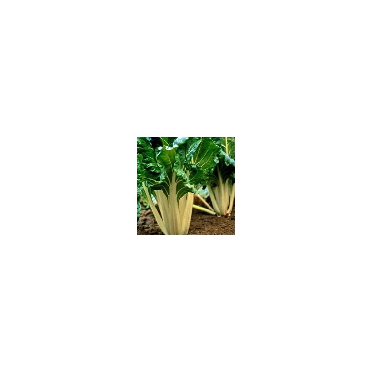 Poirée Verte À Cardes Blanches Bérac bio. Le pot compostable de 10.5 cm 447491
