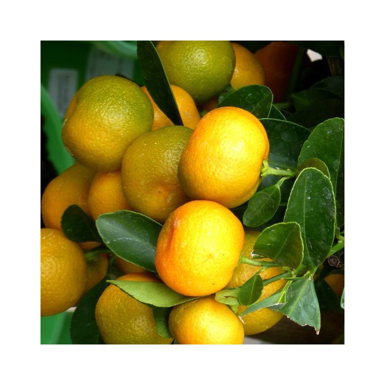 Calamondin 40/60 en pot couleur de 5 L 320402