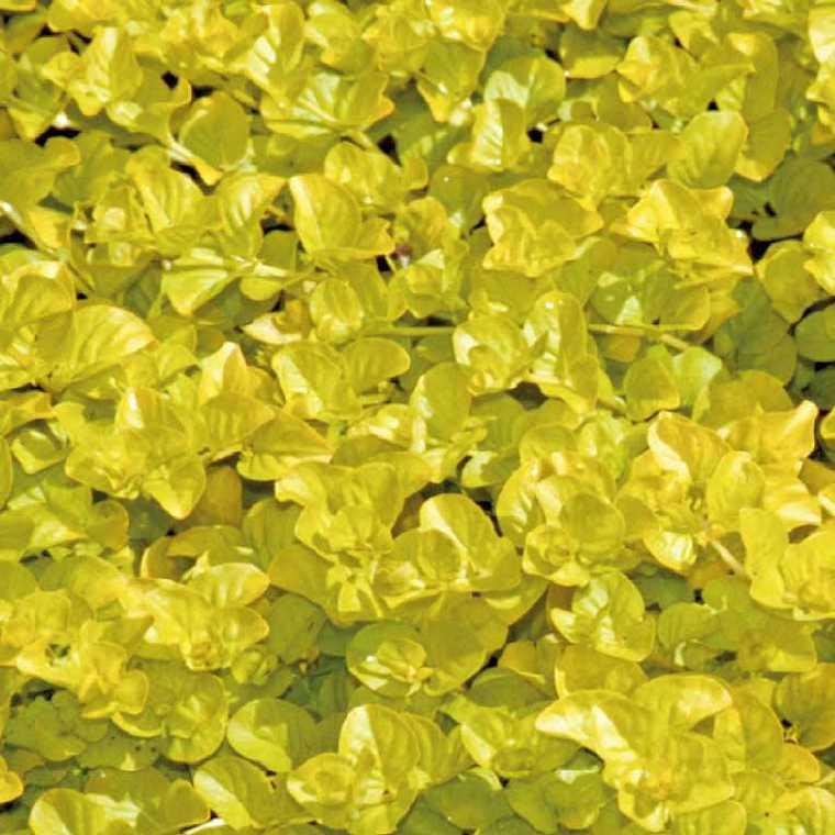 Herbe aux écus dorée godet 9x9 cm 320591