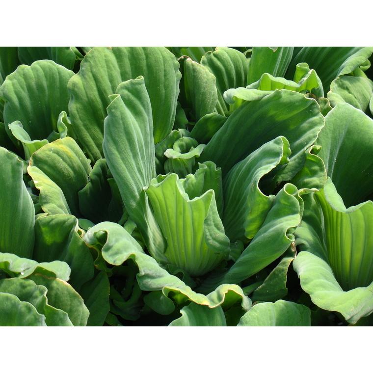 Racines nues de salade d'eau pistia stratiotes