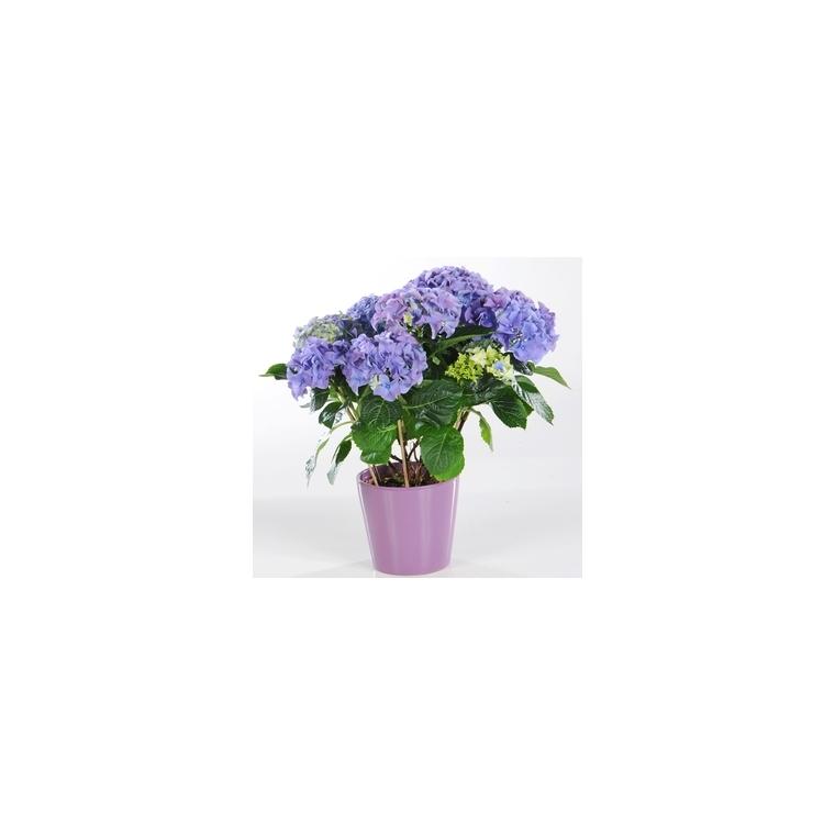 Hortensia + cache-pot céramique