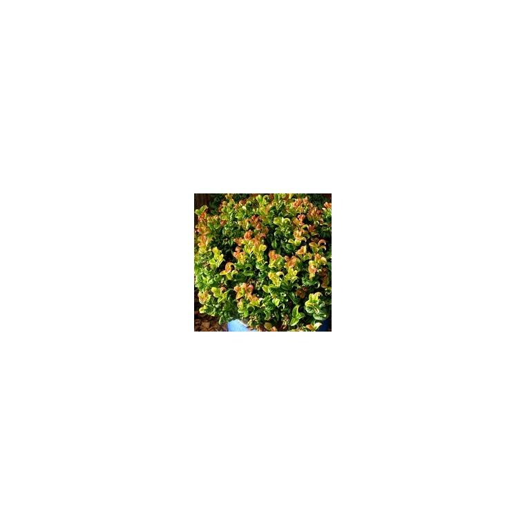 Leucothoe Curly Red – Pot de 2L 346471