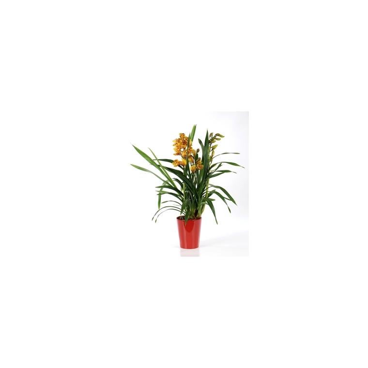 Orchidée Cymbidium avec cache-pot. Le pot de 14 cm 328216
