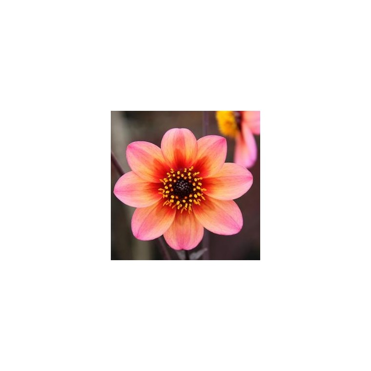 Dahlia mystic ladies  fantasy. Le pot de 4 litres 334774