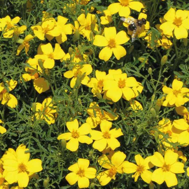 Fleur du potager tagetes nematifuge. Le pot de 10.5 cm 334953