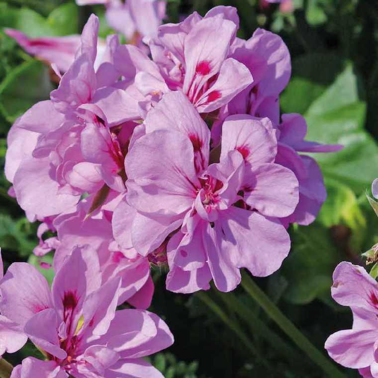 Géranium lierre double mauve Le pot de 12 x 12 cm 335387