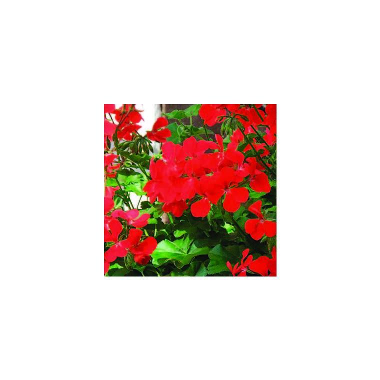Géranium lierre à grandes fleurs rouge. Le pot de 12 x 12 cm 335388