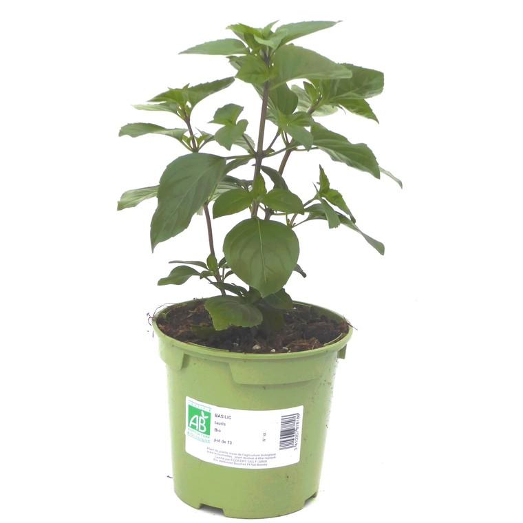 Basilic Tauris. Le pot de 1 litre recyclé 335678