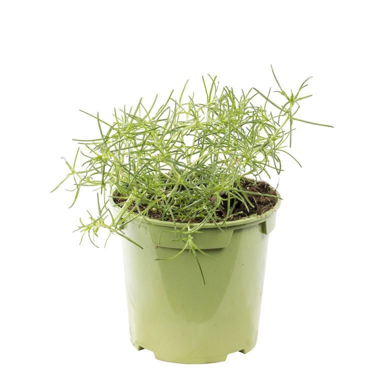 Salsola. Le pot de 1 litre recyclé 335780