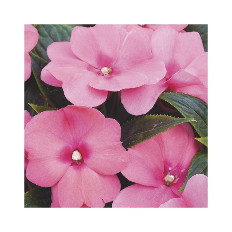 Impatiens de Nouvelle Guinée rose violet. Le pack de 6 plants 338156