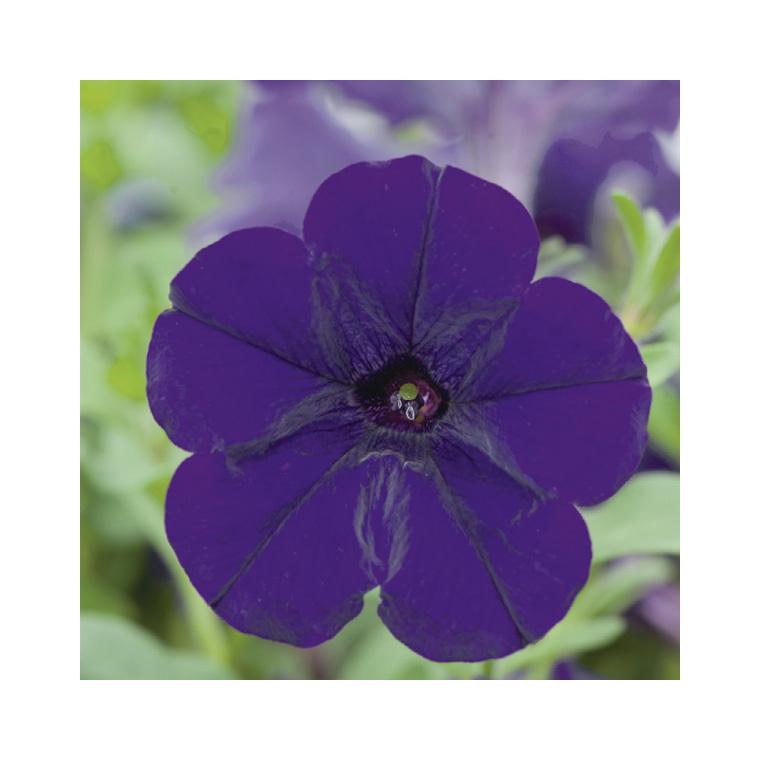 Pétunia à massif bleu. Le pack de 6 plants 338295