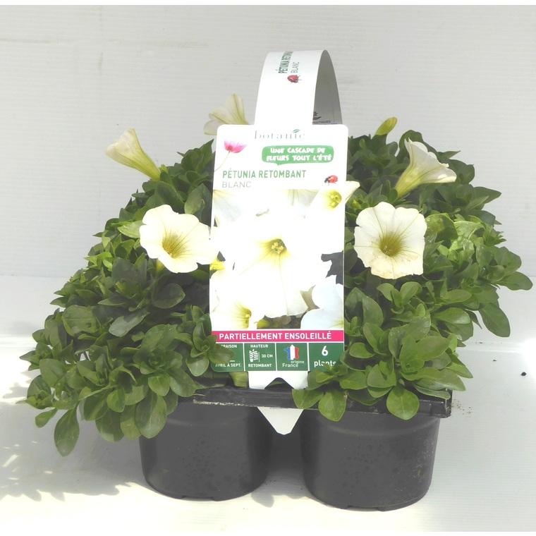 Pétunia retombant blanc. Le pack de 6 plants 338302