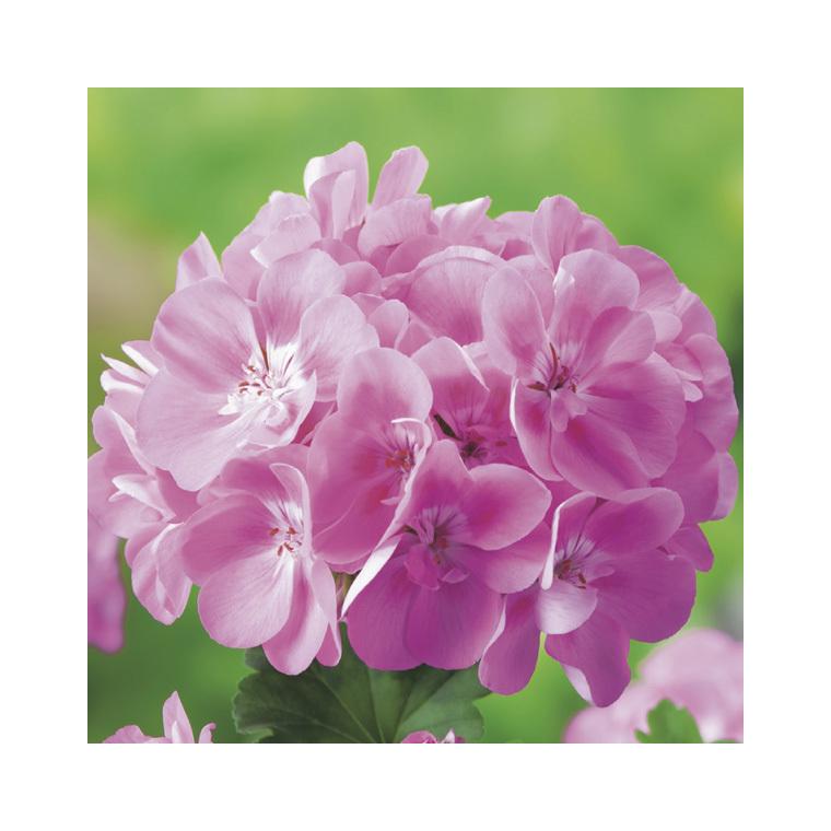 Géranium zonal rose. Le pack de 6 plants 339047