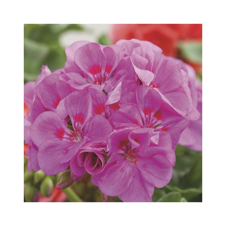 Géranium zonal mauve violet. Le pack de 6 plants 339056