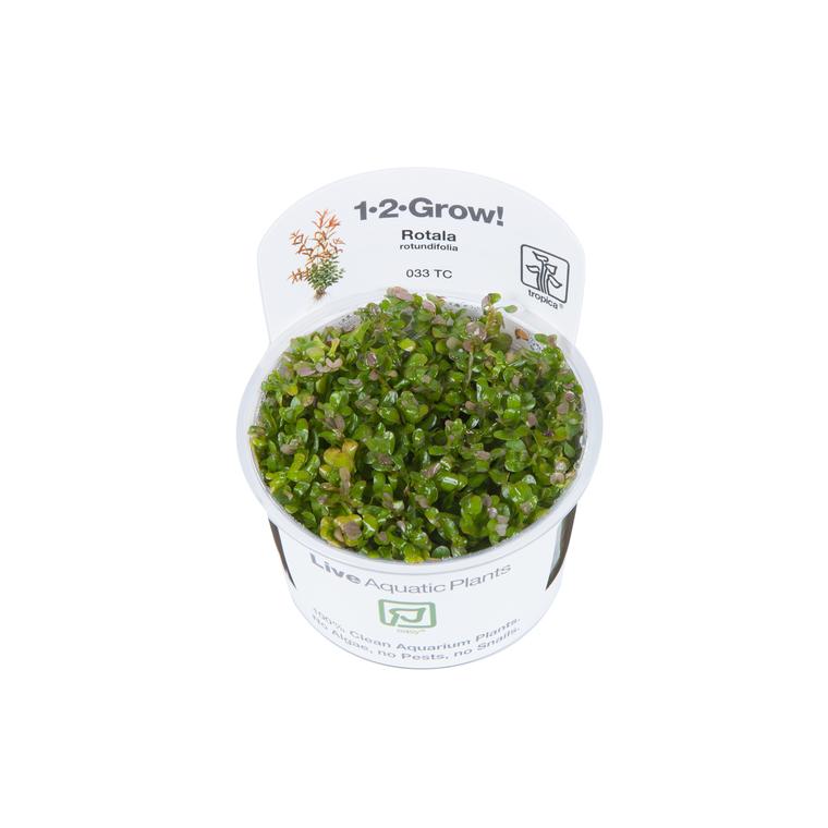 Rotala rotundifolia 340060