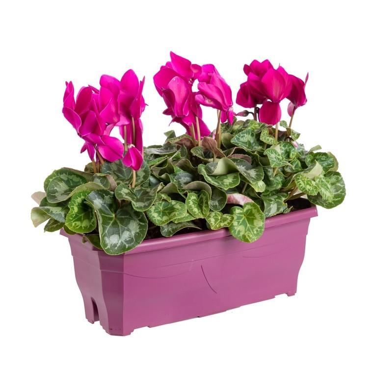 Cyclamen à grandes fleurs. La jardinière de 40 cm 34117