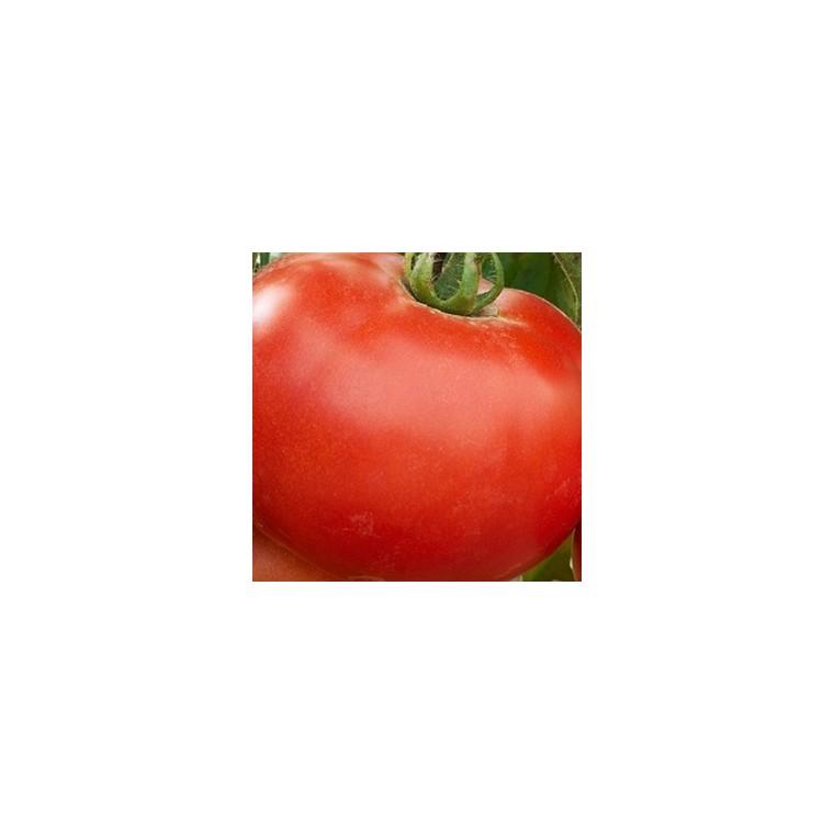 Tomate ronde Montfavet. La barquette de 3 plants 341631