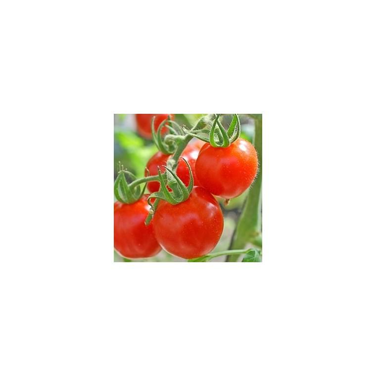 Tomate cerise ronde lipso bio. La motte 341791