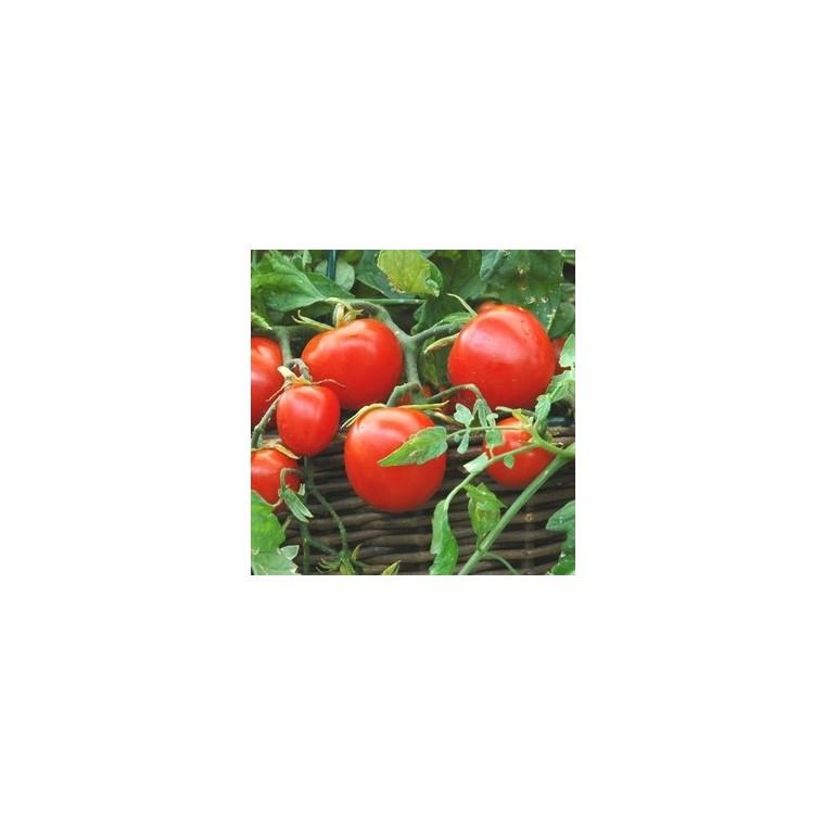 Tomate cerise allongée Tumbling Tom Red bio. La motte 341798