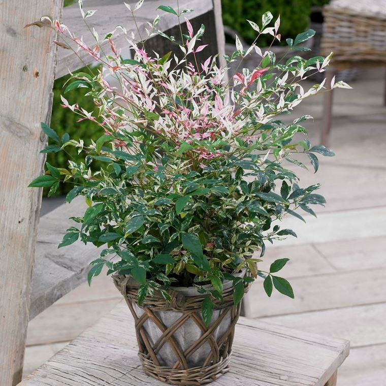 Nandina Twilight en pot de 8 L 342632