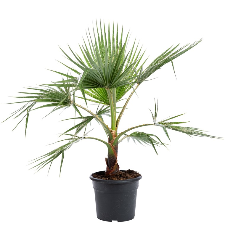 Palmier Washingtonia ou Palmier en pot de 10 L 343288