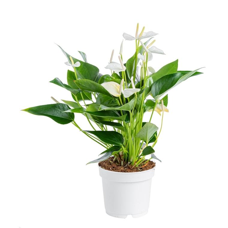 Anthurium White Champion pot Ø17 cm/ H55 cm 347299