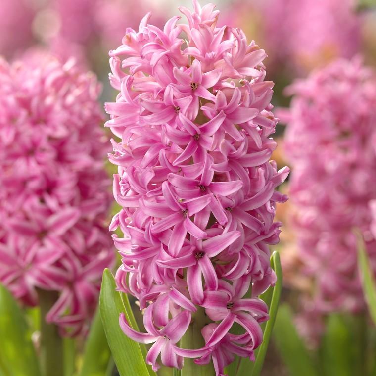 Jacinthe Pink Pearl. Le godet 346372